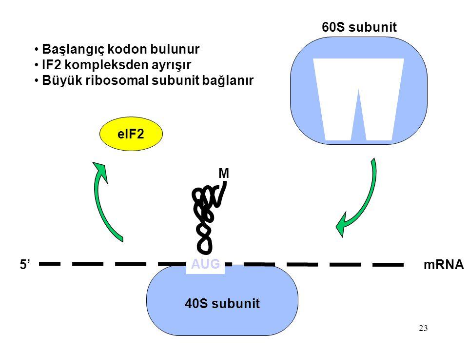 60S subunit Başlangıç kodon bulunur. IF2 kompleksden ayrışır. Büyük ribosomal subunit bağlanır. eIF2.