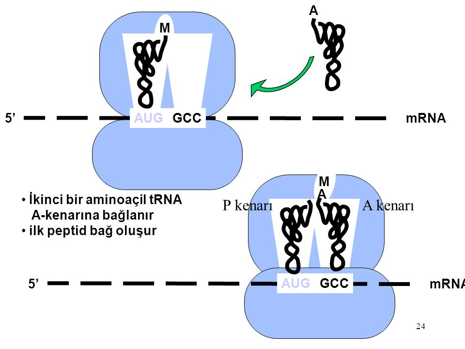 P kenarı A kenarı A M 5' AUG GCC mRNA M A İkinci bir aminoaçil tRNA