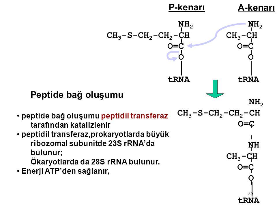 Peptide bağ oluşumu P-kenarı A-kenarı NH2 CH3-S-CH2-CH2-CH O=C O tRNA