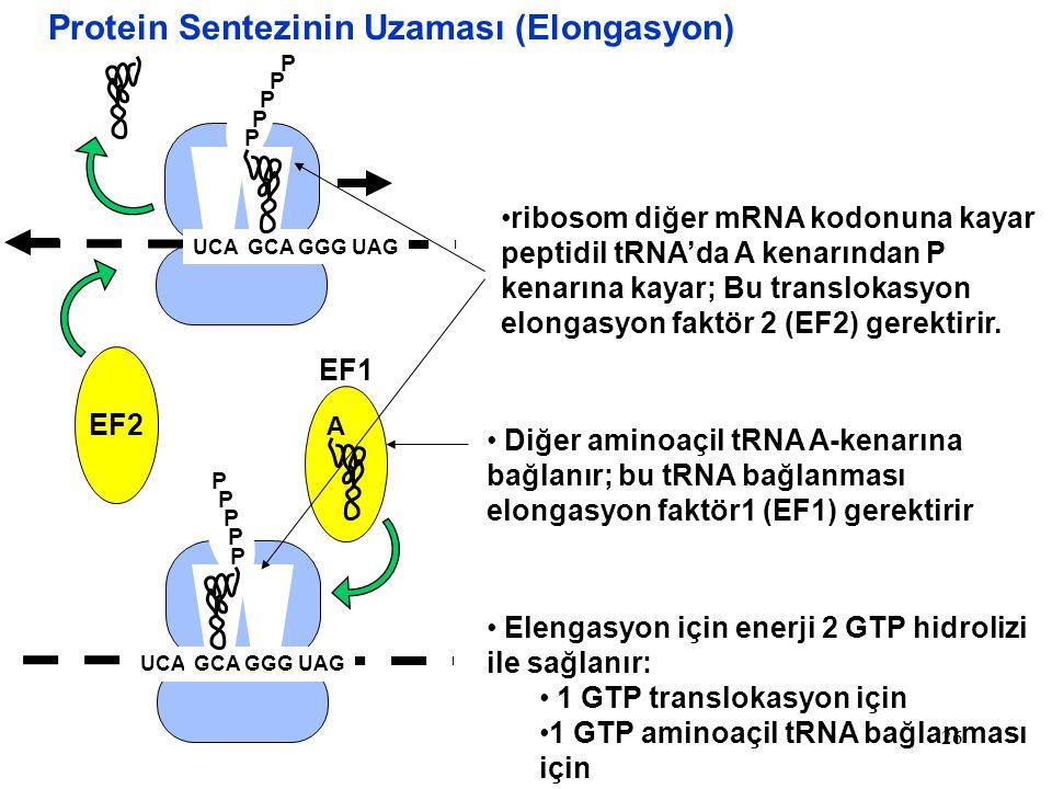 Protein Sentezinin Uzaması (Elongasyon)