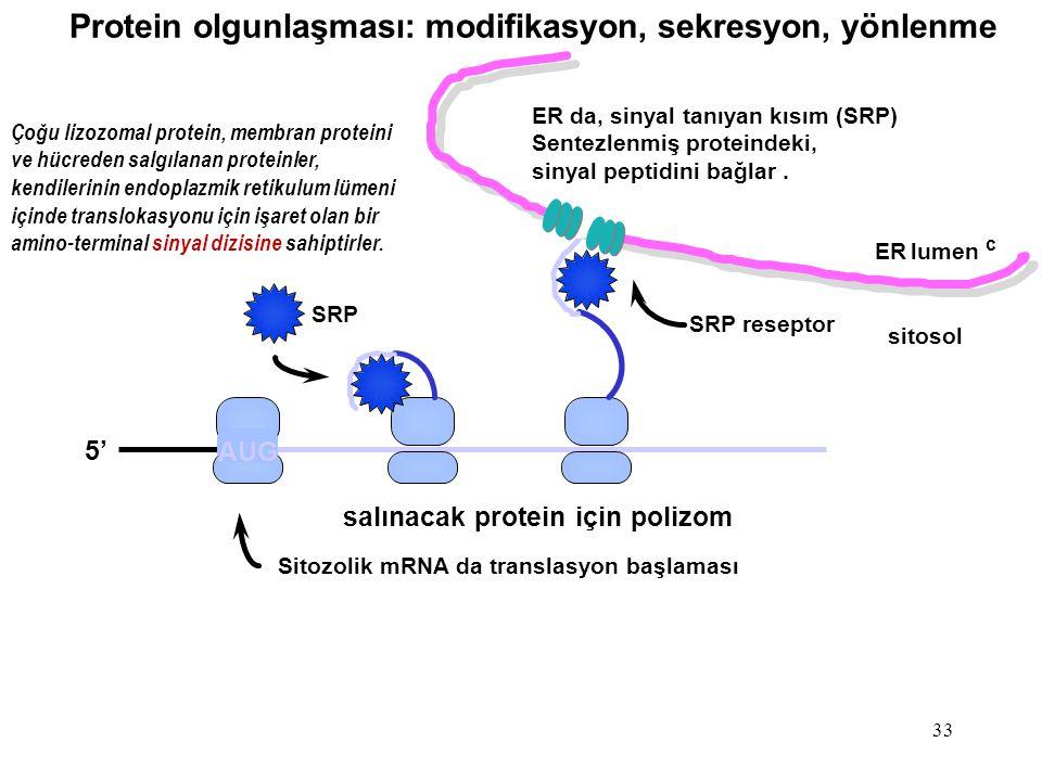 Protein olgunlaşması: modifikasyon, sekresyon, yönlenme