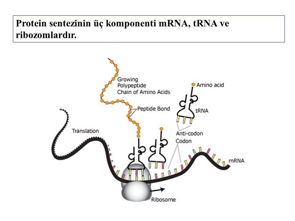 Protein sentezinin üç komponenti mRNA, tRNA ve ribozomlardır.
