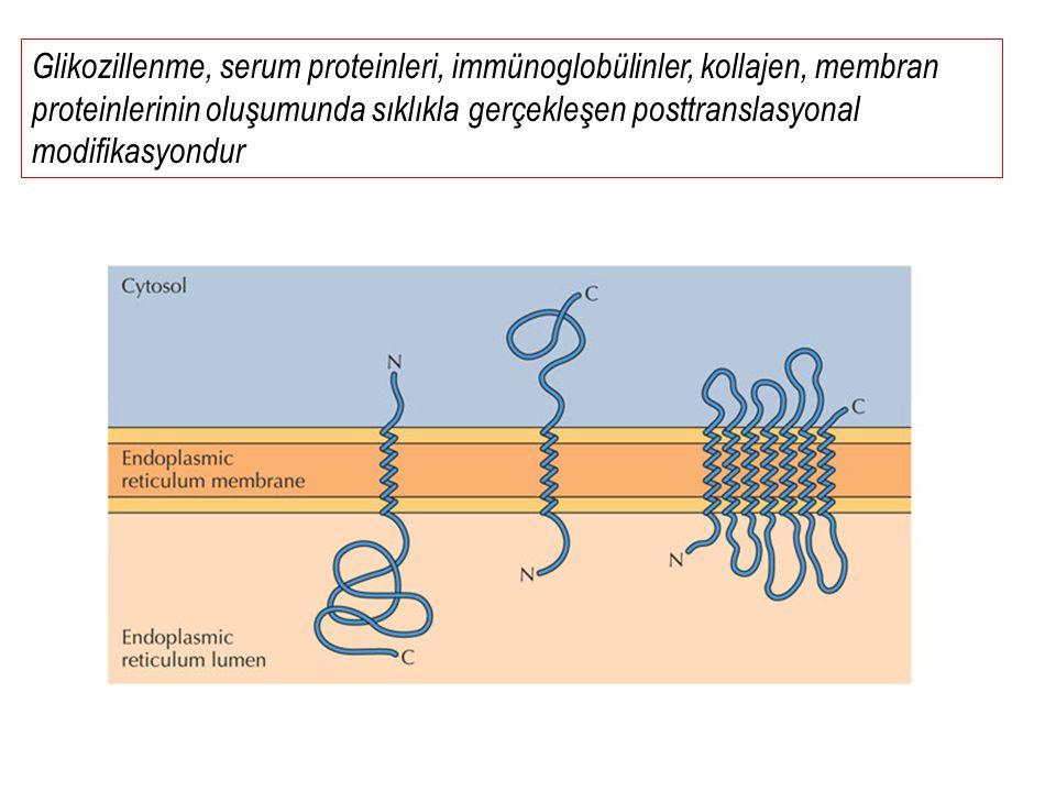 Glikozillenme, serum proteinleri, immünoglobülinler, kollajen, membran proteinlerinin oluşumunda sıklıkla gerçekleşen posttranslasyonal modifikasyondur