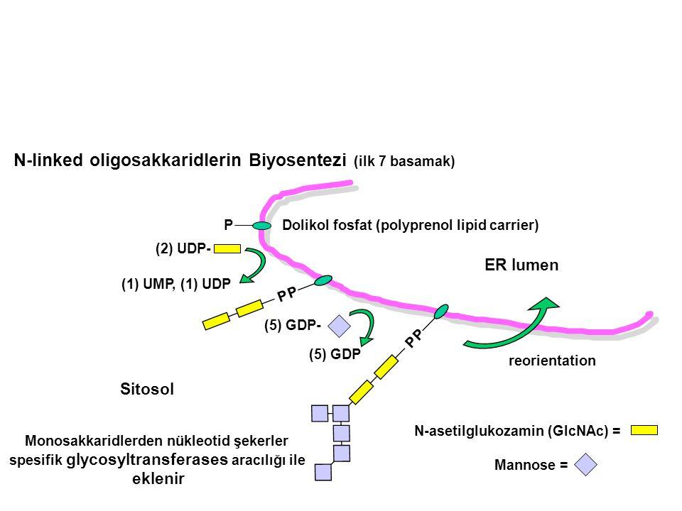 N-linked oligosakkaridlerin Biyosentezi (ilk 7 basamak)