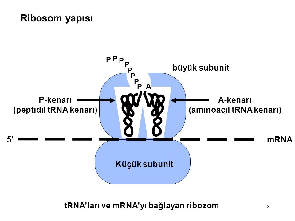 (peptidil tRNA kenarı) (aminoaçil tRNA kenarı)