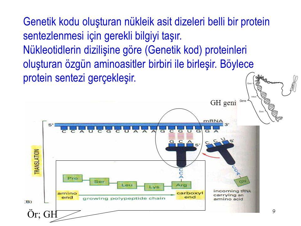 Genetik kodu oluşturan nükleik asit dizeleri belli bir protein sentezlenmesi için gerekli bilgiyi taşır.