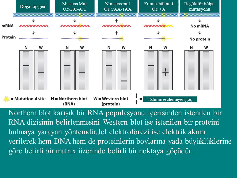 Doğal tip gen Missens Mut. Ör:G.C-A.T. Nonsens mut. Ör:CAA-TAA. Frameshift mut. Ör: +A. Regülatör bölge.