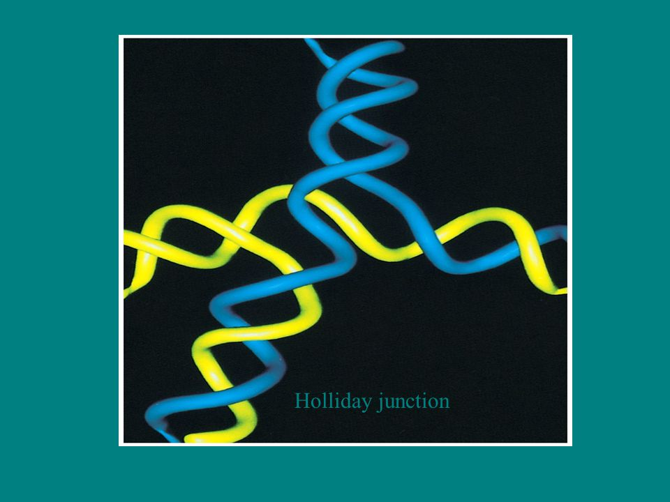 Holliday junction