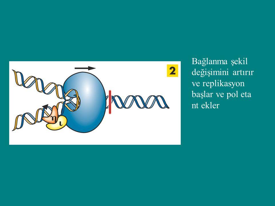 Bağlanma şekil değişimini artırır ve replikasyon başlar ve pol eta nt ekler