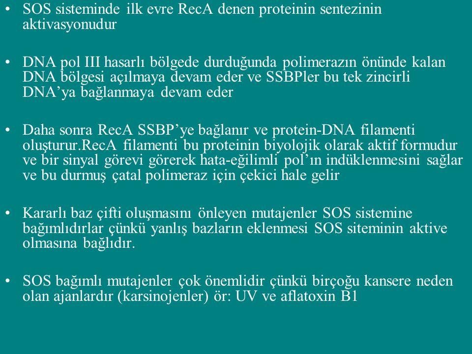 SOS sisteminde ilk evre RecA denen proteinin sentezinin aktivasyonudur