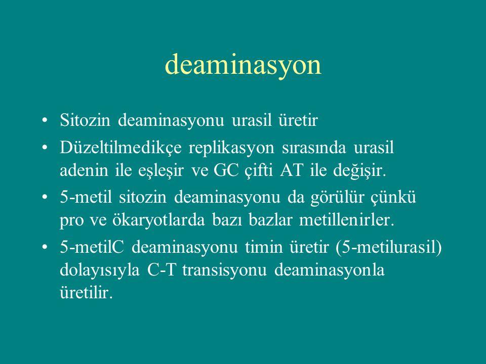 deaminasyon Sitozin deaminasyonu urasil üretir