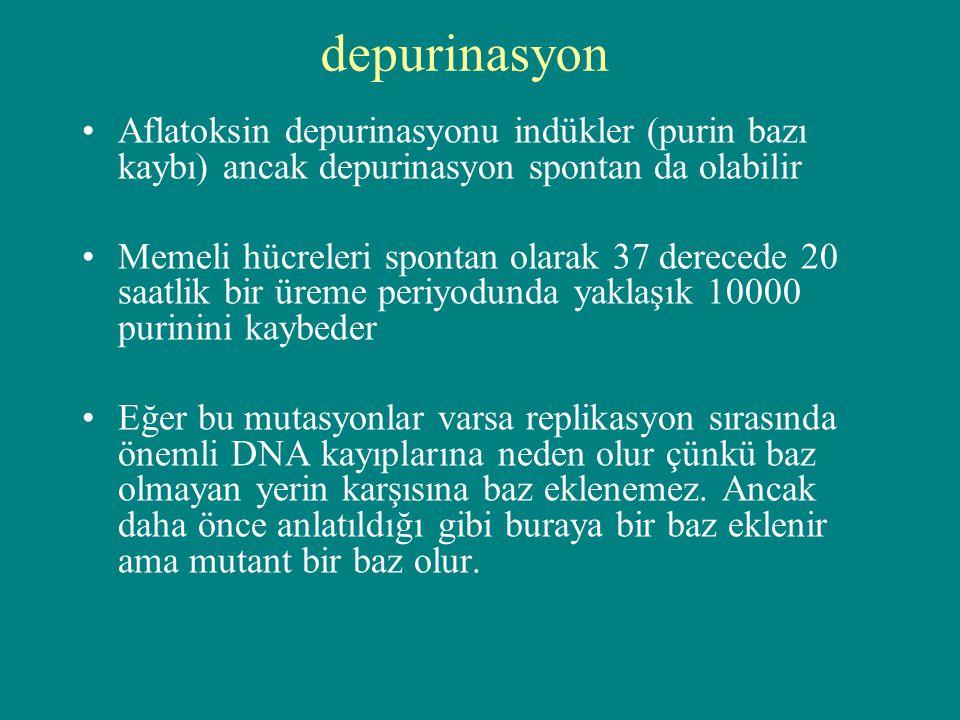 depurinasyon Aflatoksin depurinasyonu indükler (purin bazı kaybı) ancak depurinasyon spontan da olabilir.