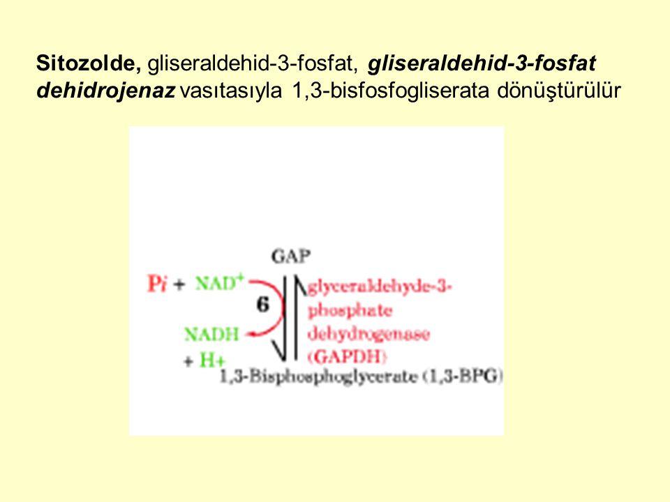 Sitozolde, gliseraldehid-3-fosfat, gliseraldehid-3-fosfat dehidrojenaz vasıtasıyla 1,3-bisfosfogliserata dönüştürülür