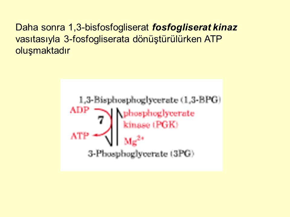 Daha sonra 1,3-bisfosfogliserat fosfogliserat kinaz vasıtasıyla 3-fosfogliserata dönüştürülürken ATP oluşmaktadır