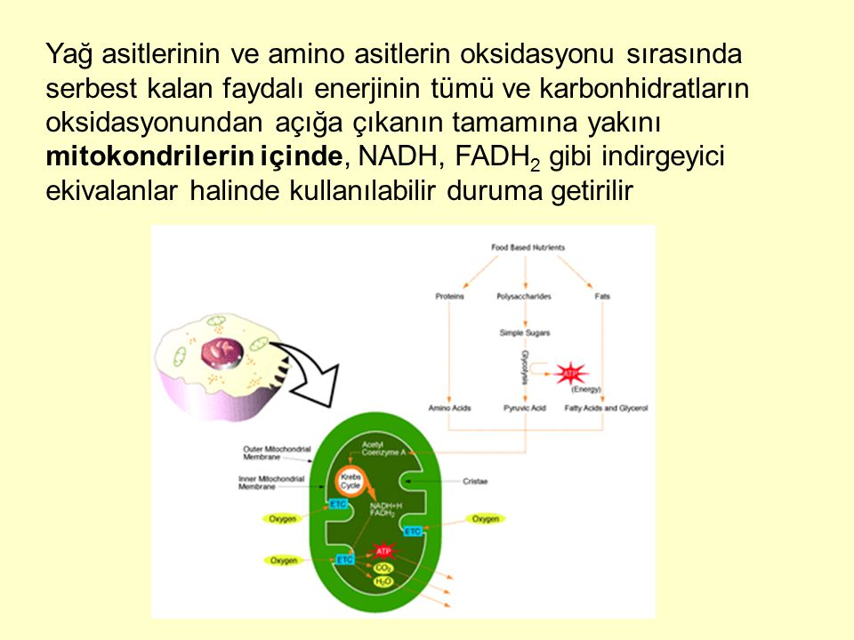 Yağ asitlerinin ve amino asitlerin oksidasyonu sırasında serbest kalan faydalı enerjinin tümü ve karbonhidratların oksidasyonundan açığa çıkanın tamamına yakını mitokondrilerin içinde, NADH, FADH2 gibi indirgeyici ekivalanlar halinde kullanılabilir duruma getirilir