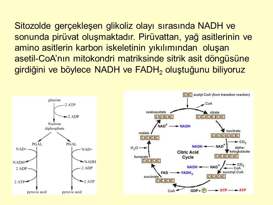 Sitozolde gerçekleşen glikoliz olayı sırasında NADH ve sonunda pirüvat oluşmaktadır.