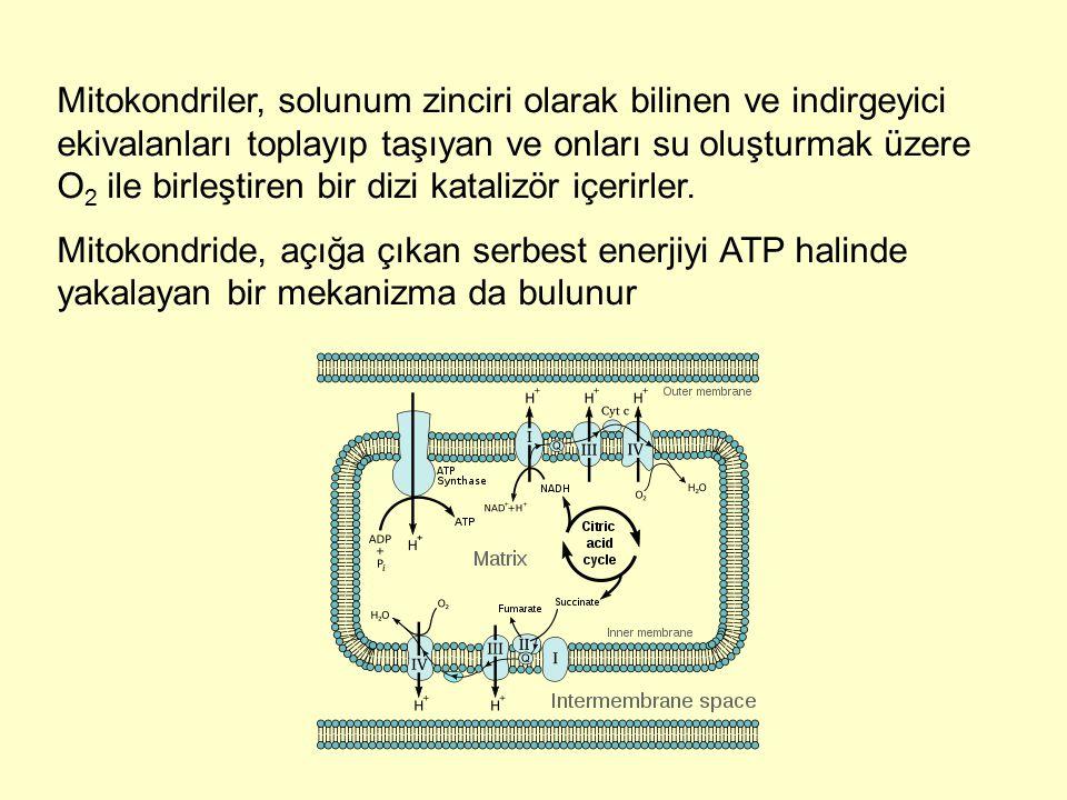Mitokondriler, solunum zinciri olarak bilinen ve indirgeyici ekivalanları toplayıp taşıyan ve onları su oluşturmak üzere O2 ile birleştiren bir dizi katalizör içerirler.