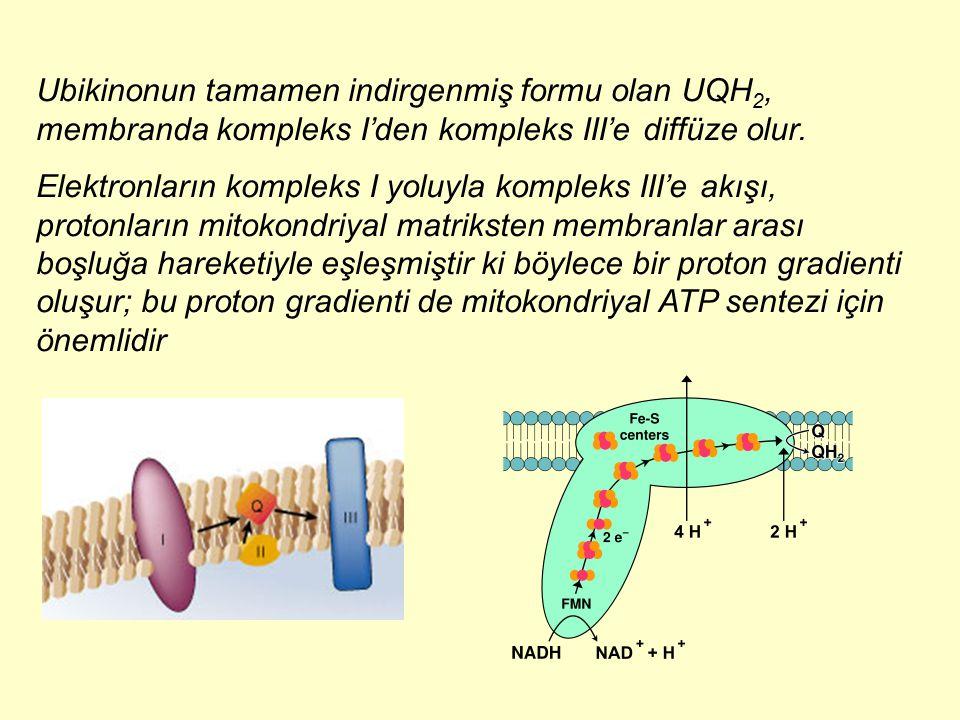 Ubikinonun tamamen indirgenmiş formu olan UQH2, membranda kompleks I'den kompleks III'e diffüze olur.