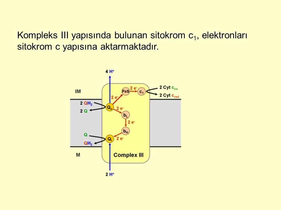 Kompleks III yapısında bulunan sitokrom c1, elektronları sitokrom c yapısına aktarmaktadır.