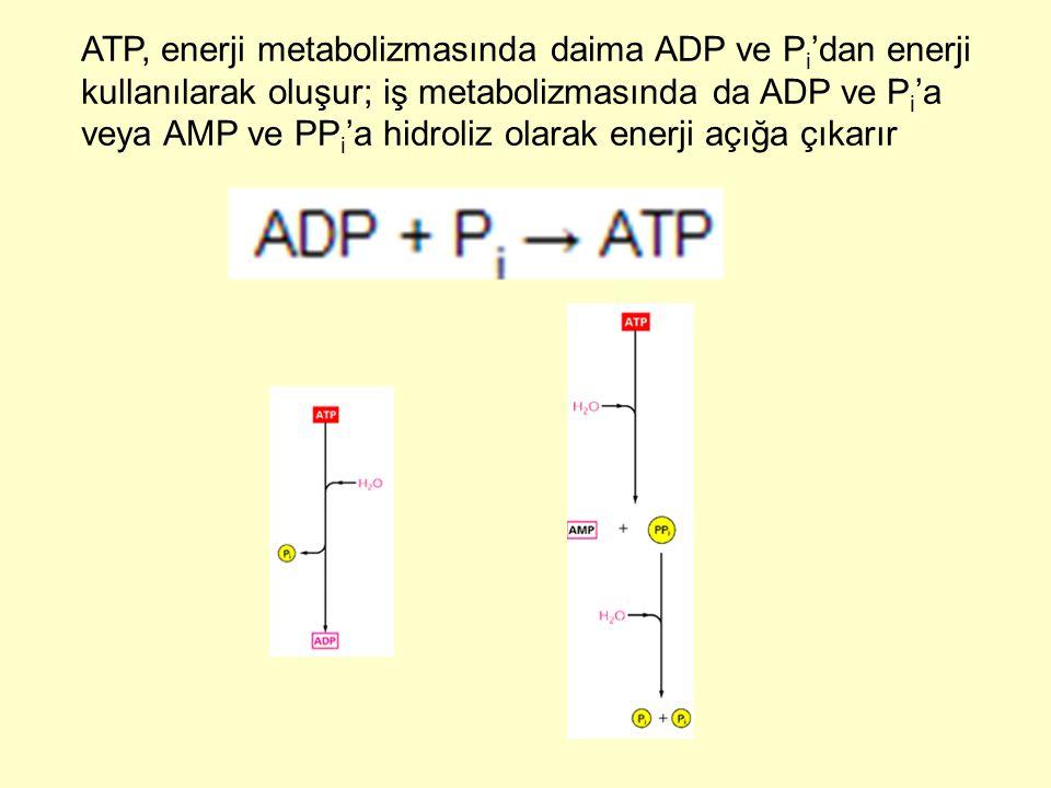 ATP, enerji metabolizmasında daima ADP ve Pi'dan enerji kullanılarak oluşur; iş metabolizmasında da ADP ve Pi'a veya AMP ve PPi'a hidroliz olarak enerji açığa çıkarır