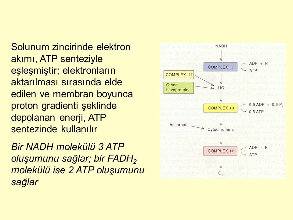 Solunum zincirinde elektron akımı, ATP senteziyle eşleşmiştir; elektronların aktarılması sırasında elde edilen ve membran boyunca proton gradienti şeklinde depolanan enerji, ATP sentezinde kullanılır