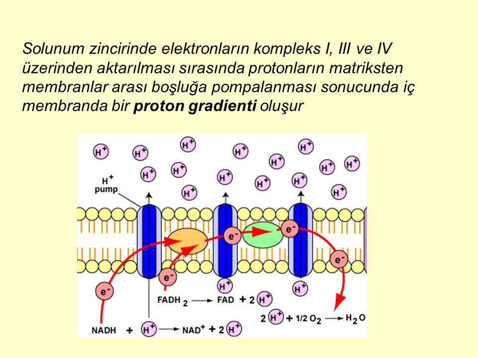 Solunum zincirinde elektronların kompleks I, III ve IV üzerinden aktarılması sırasında protonların matriksten membranlar arası boşluğa pompalanması sonucunda iç membranda bir proton gradienti oluşur