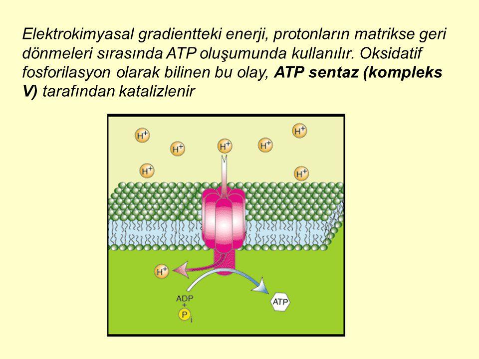 Elektrokimyasal gradientteki enerji, protonların matrikse geri dönmeleri sırasında ATP oluşumunda kullanılır.