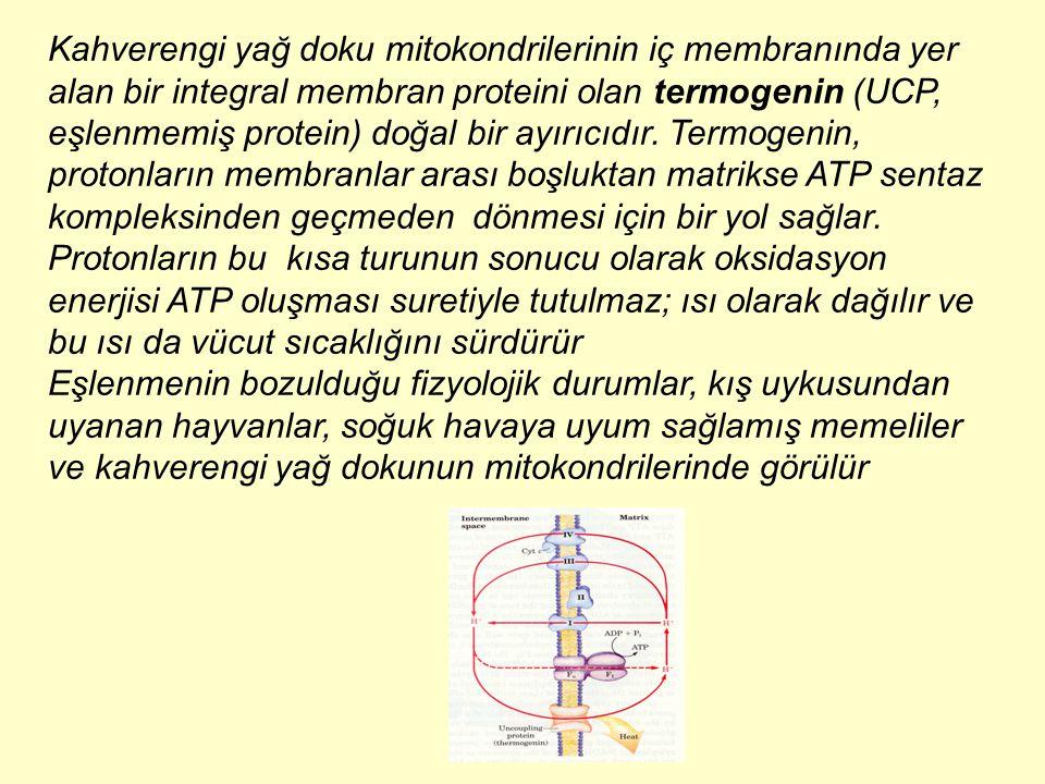 Kahverengi yağ doku mitokondrilerinin iç membranında yer alan bir integral membran proteini olan termogenin (UCP, eşlenmemiş protein) doğal bir ayırıcıdır. Termogenin, protonların membranlar arası boşluktan matrikse ATP sentaz kompleksinden geçmeden dönmesi için bir yol sağlar. Protonların bu kısa turunun sonucu olarak oksidasyon enerjisi ATP oluşması suretiyle tutulmaz; ısı olarak dağılır ve bu ısı da vücut sıcaklığını sürdürür