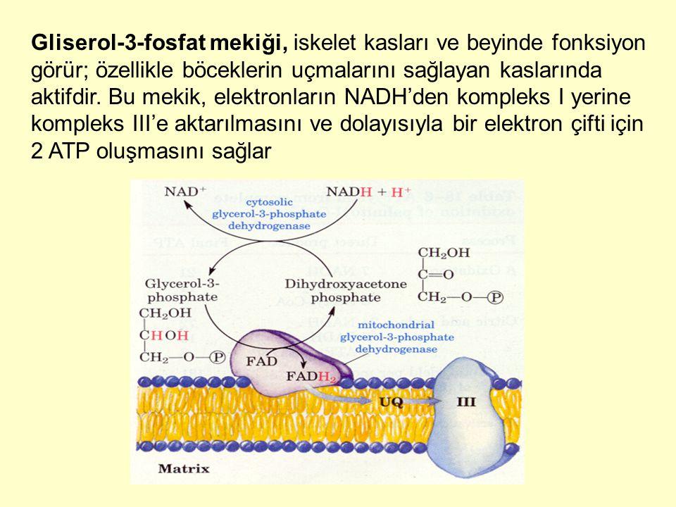 Gliserol-3-fosfat mekiği, iskelet kasları ve beyinde fonksiyon görür; özellikle böceklerin uçmalarını sağlayan kaslarında aktifdir.