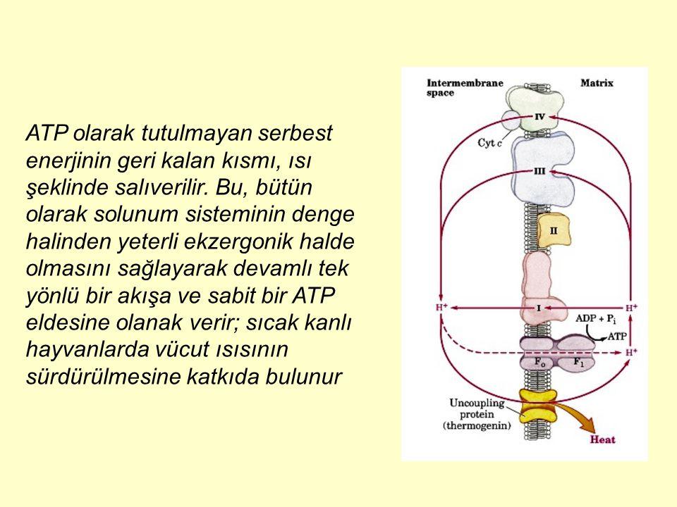ATP olarak tutulmayan serbest enerjinin geri kalan kısmı, ısı şeklinde salıverilir.