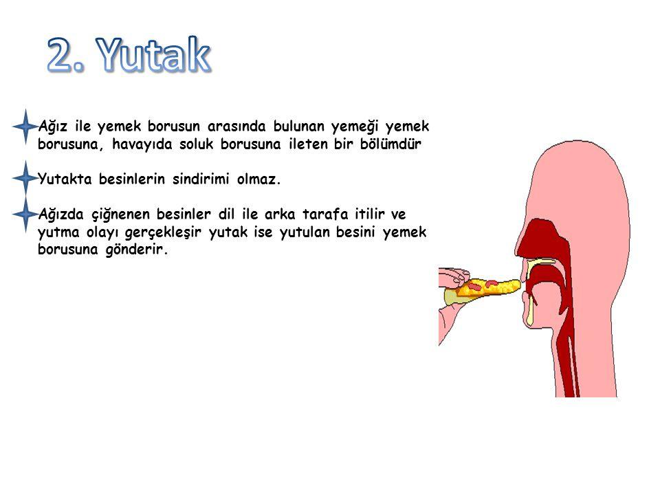2. Yutak Ağız ile yemek borusun arasında bulunan yemeği yemek borusuna, havayıda soluk borusuna ileten bir bölümdür.