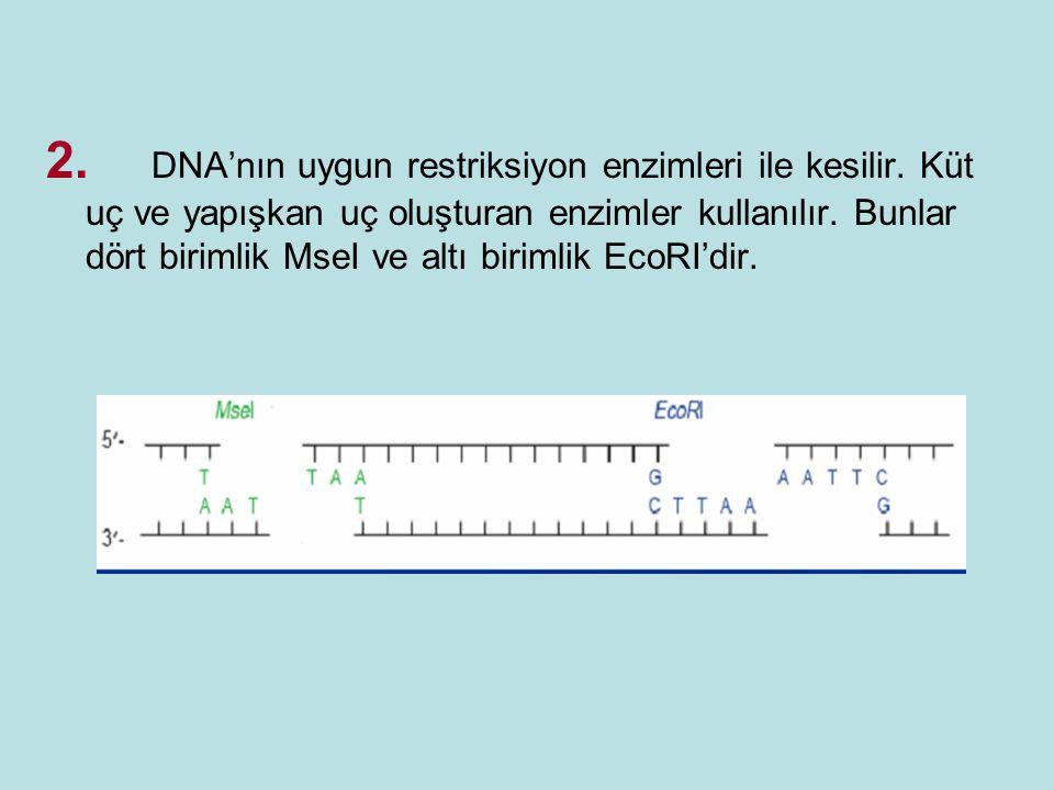 2. DNA'nın uygun restriksiyon enzimleri ile kesilir