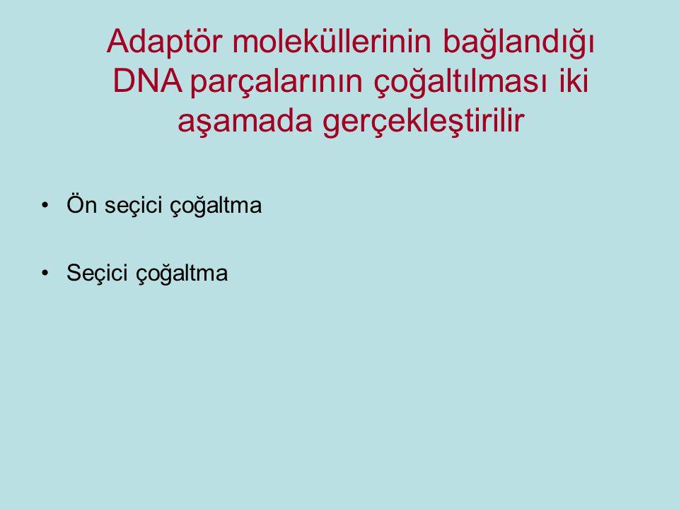 Adaptör moleküllerinin bağlandığı DNA parçalarının çoğaltılması iki aşamada gerçekleştirilir