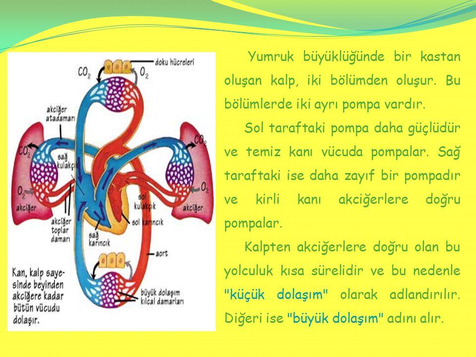 Yumruk büyüklüğünde bir kastan oluşan kalp, iki bölümden oluşur