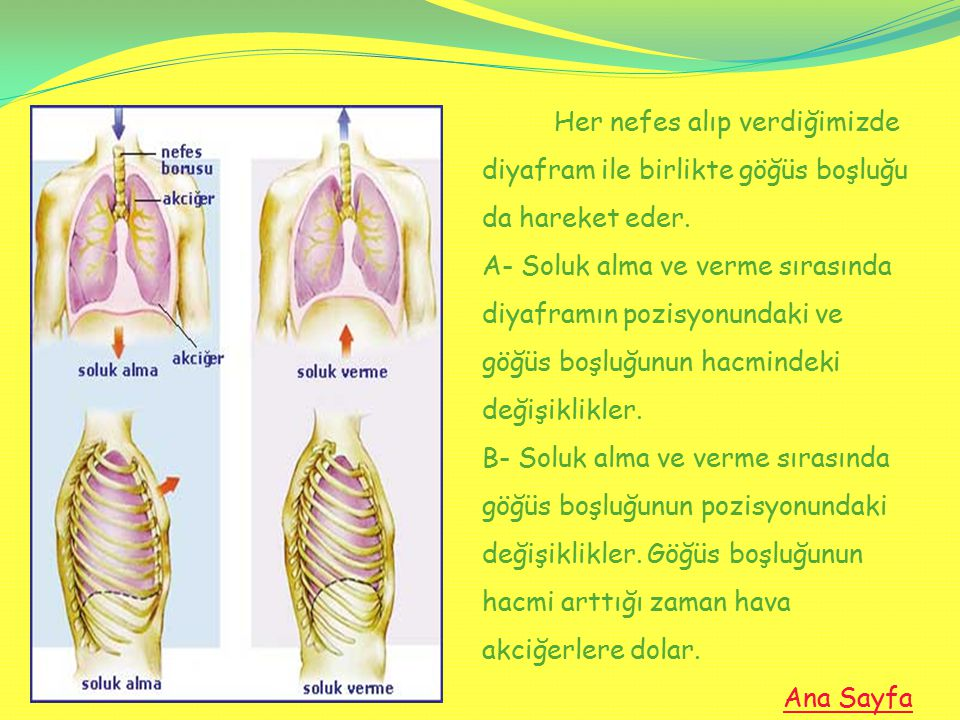 Her nefes alıp verdiğimizde diyafram ile birlikte göğüs boşluğu da hareket eder. A- Soluk alma ve verme sırasında diyaframın pozisyonundaki ve göğüs boşluğunun hacmindeki değişiklikler. B- Soluk alma ve verme sırasında göğüs boşluğunun pozisyonundaki değişiklikler. Göğüs boşluğunun hacmi arttığı zaman hava akciğerlere dolar.