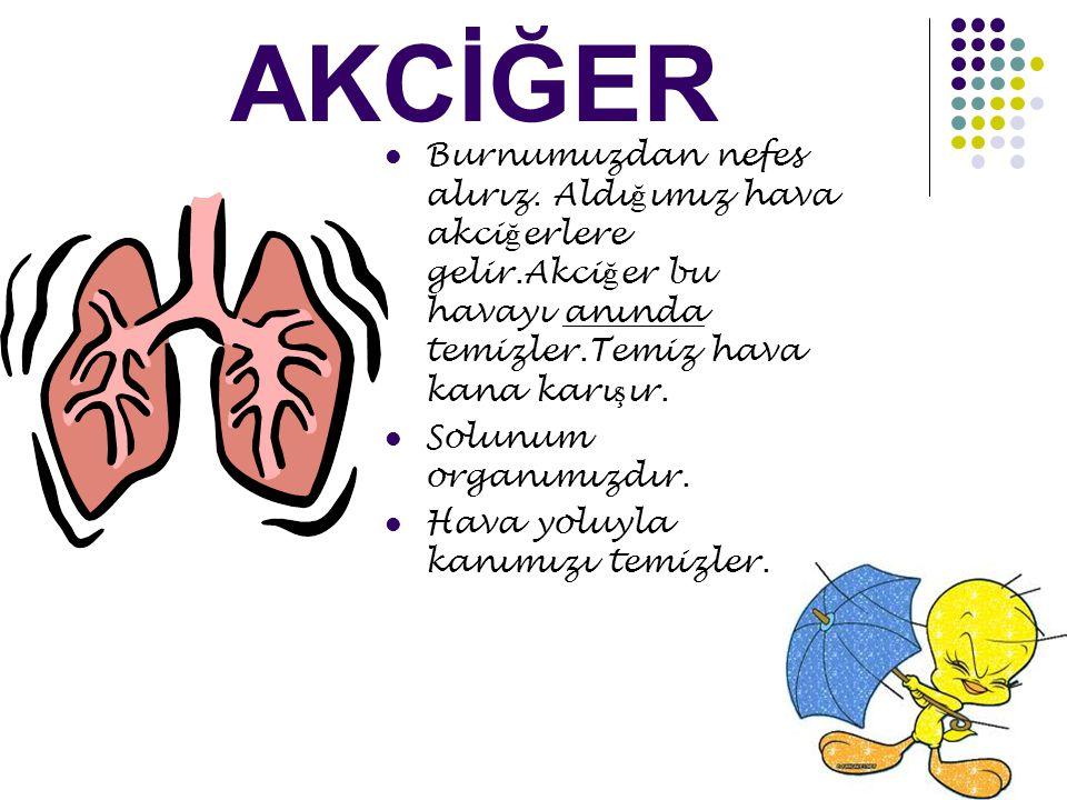 AKCİĞER Burnumuzdan nefes alırız. Aldığımız hava akciğerlere gelir.Akciğer bu havayı anında temizler.Temiz hava kana karışır.