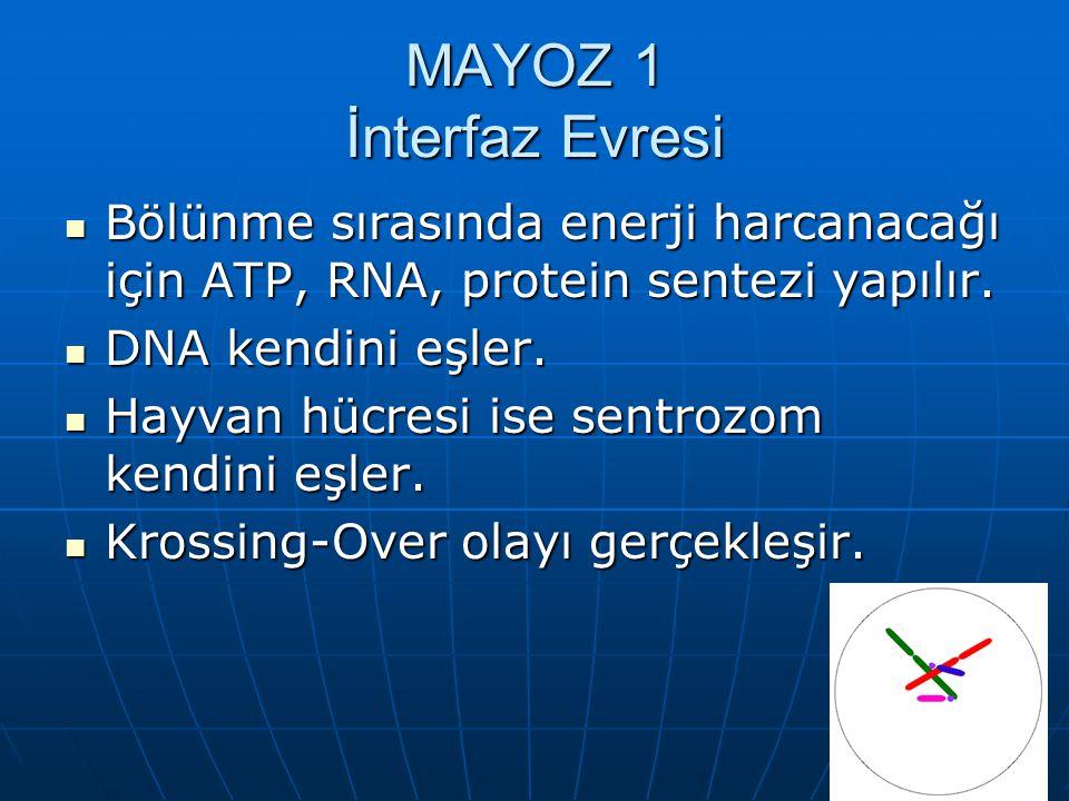 MAYOZ 1 İnterfaz Evresi Bölünme sırasında enerji harcanacağı için ATP, RNA, protein sentezi yapılır.