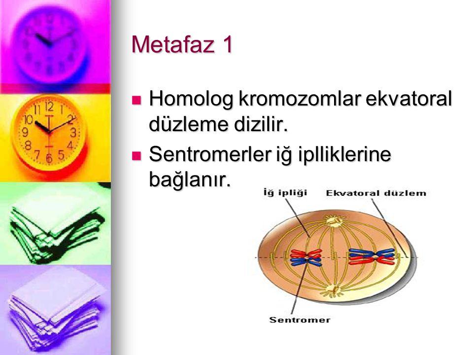 Metafaz 1 Homolog kromozomlar ekvatoral düzleme dizilir.