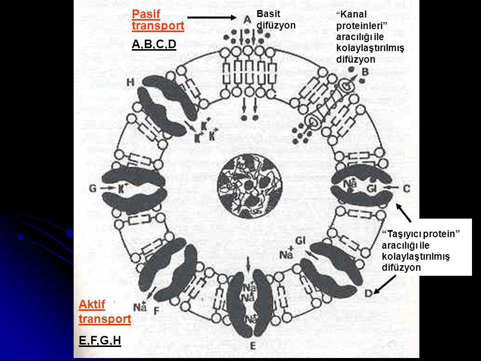 Pasif transport A,B,C,D Aktif transport E,F,G,H Basit difüzyon