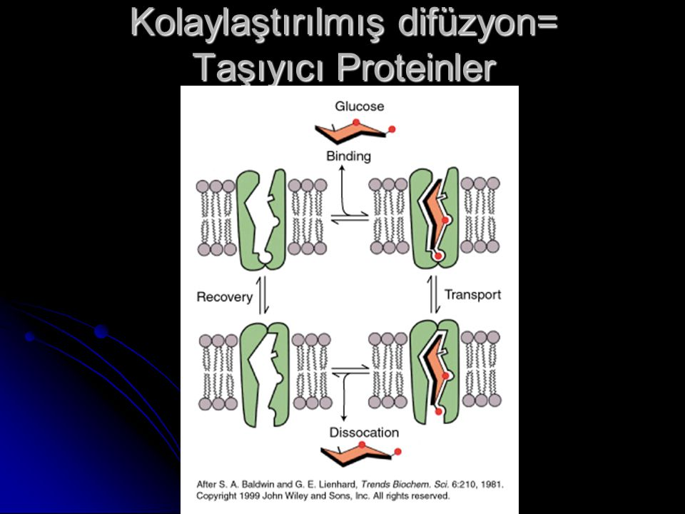 Kolaylaştırılmış difüzyon= Taşıyıcı Proteinler
