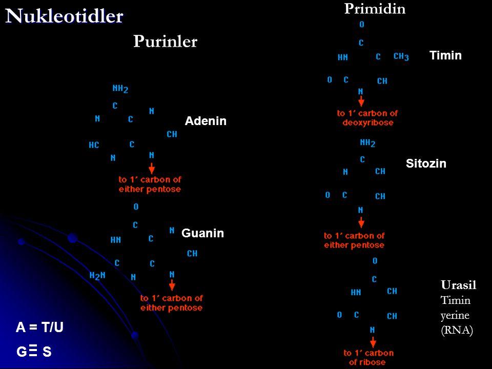 Nukleotidler Purinler Primidin Urasil A = T/U G S Timin Adenin Sitozin