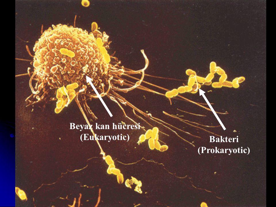 Beyaz kan hücresi (Eukaryotic) Bakteri (Prokaryotic)