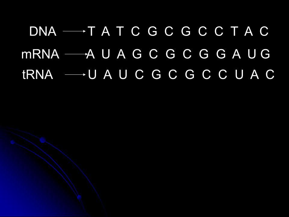 DNA T A T C G C G C C T A C mRNA A U A G C G C G G A U G