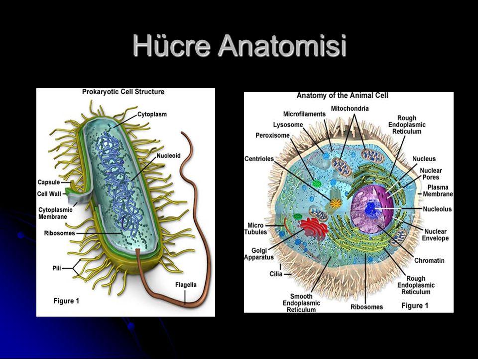 Hücre Anatomisi