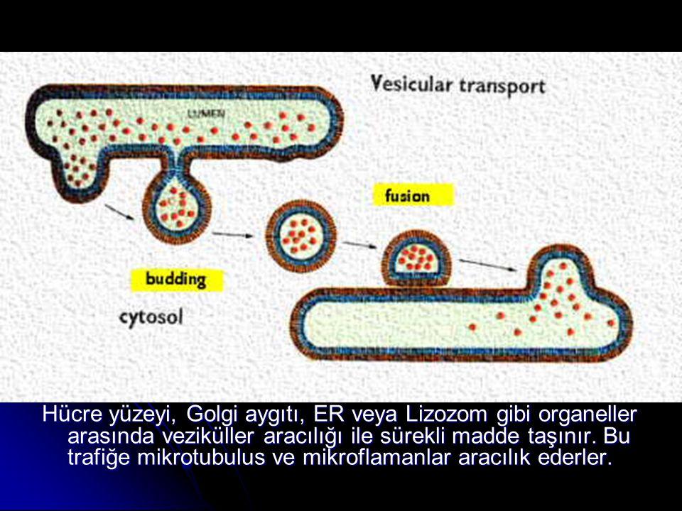 Hücre yüzeyi, Golgi aygıtı, ER veya Lizozom gibi organeller arasında veziküller aracılığı ile sürekli madde taşınır.