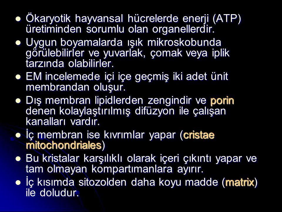 Ökaryotik hayvansal hücrelerde enerji (ATP) üretiminden sorumlu olan organellerdir.