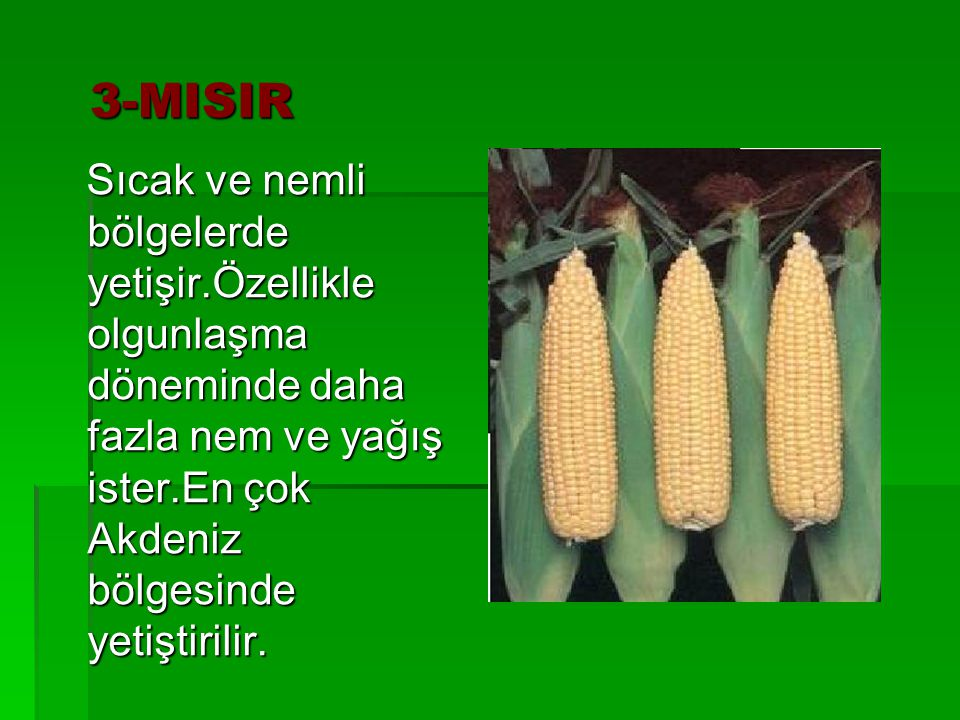 3-MISIR Sıcak ve nemli bölgelerde yetişir.Özellikle olgunlaşma döneminde daha fazla nem ve yağış ister.En çok Akdeniz bölgesinde yetiştirilir.
