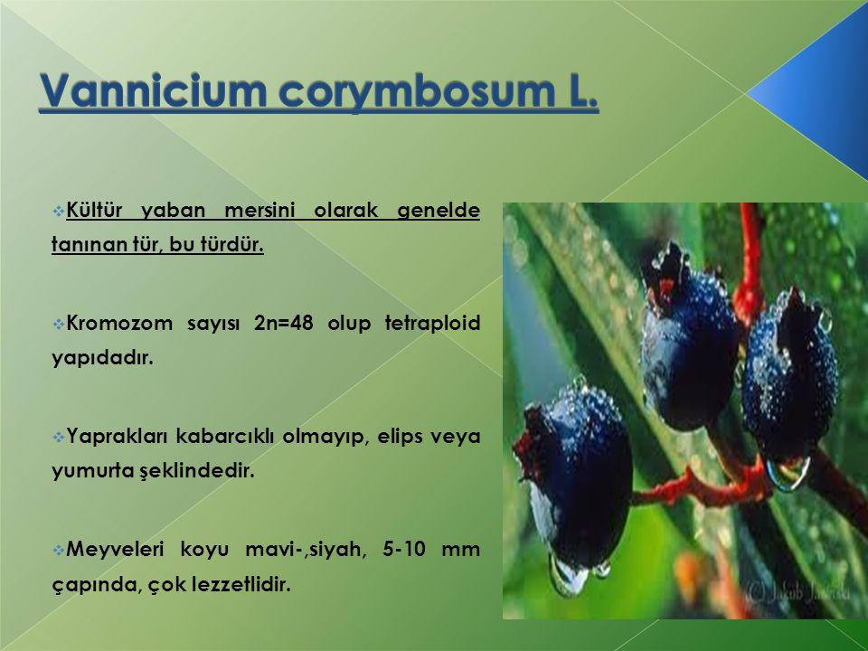 Vannicium corymbosum L.