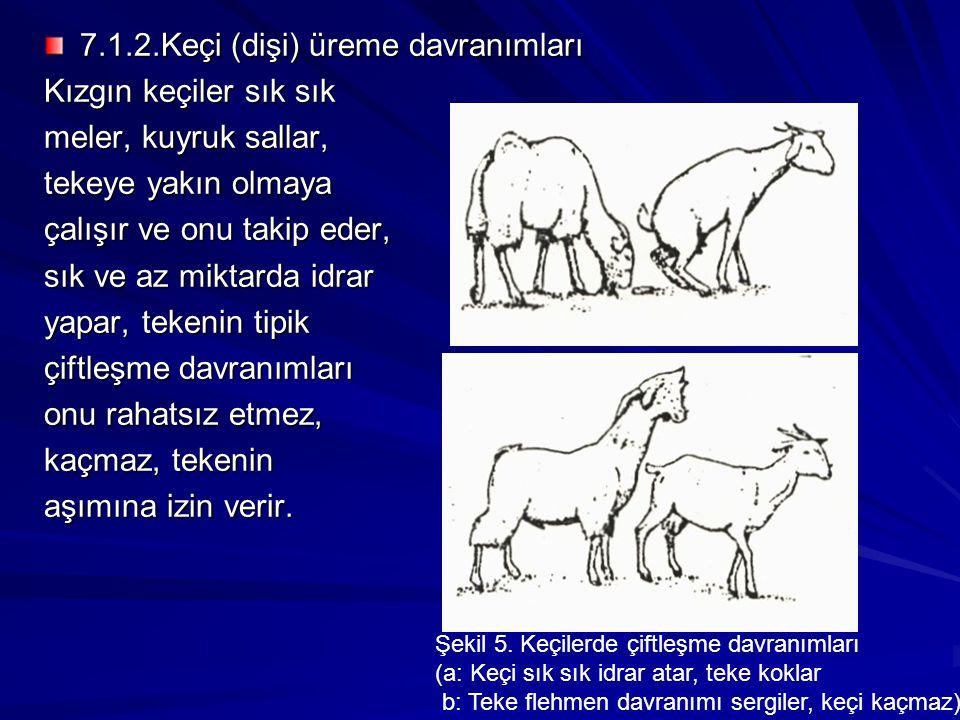 7.1.2.Keçi (dişi) üreme davranımları Kızgın keçiler sık sık