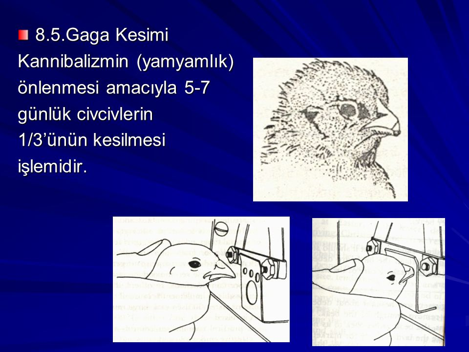 8.5.Gaga Kesimi Kannibalizmin (yamyamlık) önlenmesi amacıyla 5-7. günlük civcivlerin. 1/3'ünün kesilmesi.